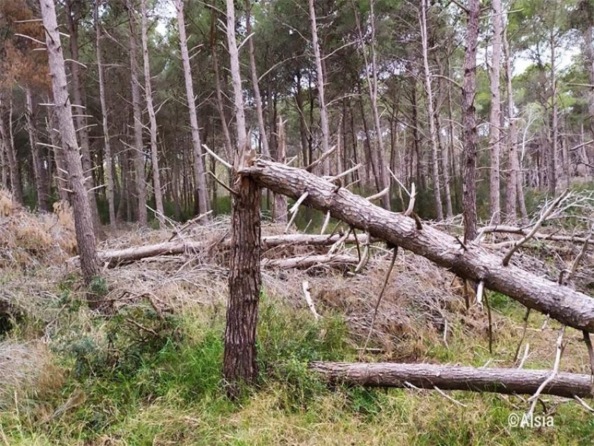 L'Alsia avvia bonifica pineta Policoro dopo eventi meteorici 2019