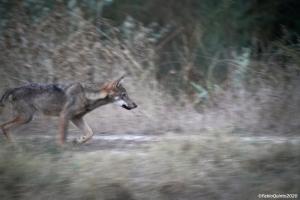 Una giornata da Lupi: sulle tracce del grande carnivoro insieme ai tecnici del monitoraggio nazionale del lupo