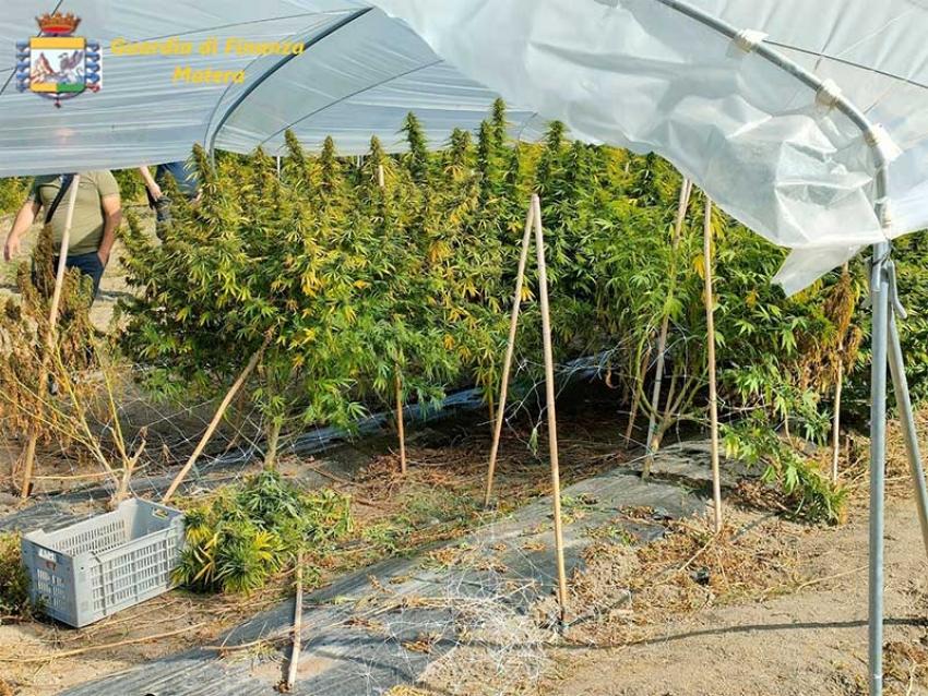 La Guardia di Finanza sequestra 40 piante di cannabis